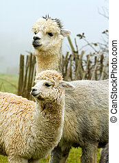 Mother and child Alpaca - Mother and baby Alpaca. An alpaca...