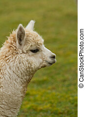 profil, Alpaka