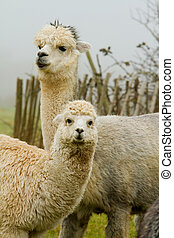 Mother and baby Alpaca. An alpaca resembles a small llama in...