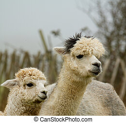 White Mother and baby Alpacas
