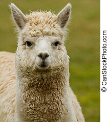 Alpaca portrait - A white Alpaca An alpaca resembles a small...