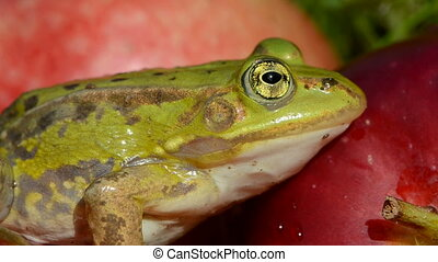 beautiful green frog eye on red apple background