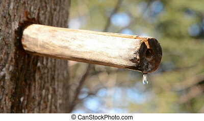 maple sap drops in spring forest - fresh medical maple sap...