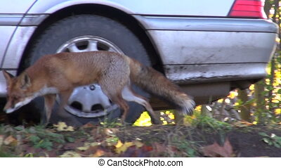 fox in park near car - animal fox in park near car
