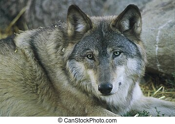 """""""Eye Of The Wolf"""" - Portrait of a male timber wolf taken at..."""