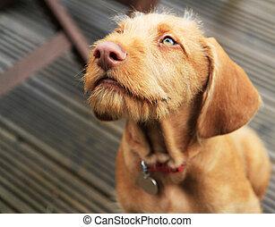 Vizsla puppy - Hungarian wirehaired Vizsla puppy