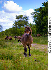 Exmoor Pony Somerset - Exmoor Pony near Wimbleball Lake...