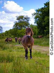 Exmoor Pony Somerset - Exmoor Pony near Wimbleball Lake...
