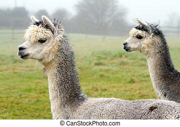 Two Grey Alpacas