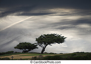 Windblown tree - Windblown pine trees under moody sky