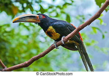 Aracari - Pale-mandibled Aracari Perched on the branch in...