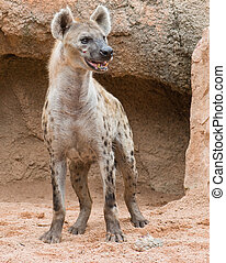 Spotted Hyena, Outdoor