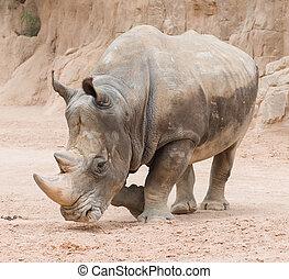 Rhinoceros In The Wild, Outdoor