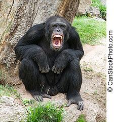 enojado, chimpancé