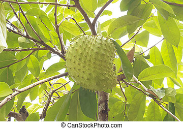 Soursop or Guanabana - Soursop or prickly custard apple or...