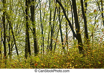 Hornbeam forest in the early autumn - Hornbeam forest with...