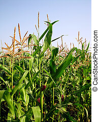 Corn (Maize) - The leaves and stems of maize (corn)