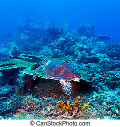 Green Sea Turtle near Coral Reef, Bali - Swimming green...