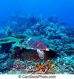 Green Sea Turtle near Coral Reef, Bali - Swimming green...
