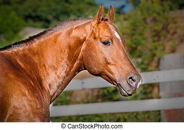 Portrait red horse in the paddock