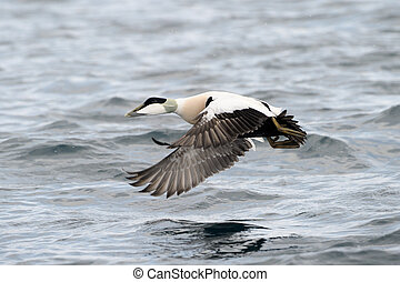 Common Eider flying over water