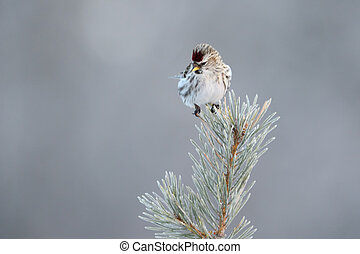 Redpoll in top of pine tree
