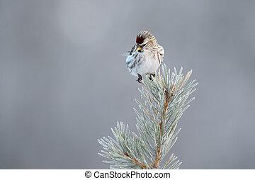 Redpoll in top of pine tree