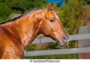 Portrait gold-red horse in the paddock