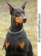 black doberman - Portrait of black doberman