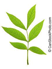 Ash tree leaf on isolated