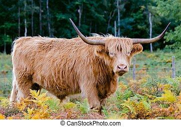 tierras altas, vaca
