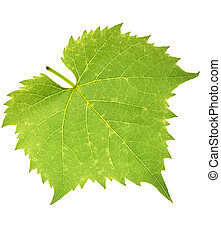 Grape leaf isolated on white