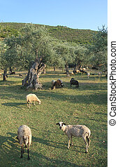 Agriculture - Olive tree planting and sheeps at Thassos...