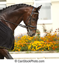 dressage horse - beautiful dressage horse