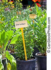 Homegrown herbs seedlings