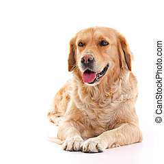 Golden retriever - golden retriever dog laying over white...