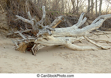 Driftwood - A large tree sized piece of driftwood washed up...