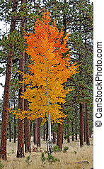 Aspen in full fall color 1