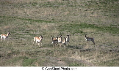 Pronghorn Antelope Herd on the prairie