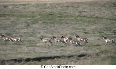 Pronghorn Herd Running - a pronghorn antelope herd running...