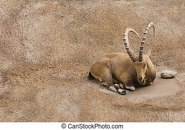 Scimitar horned Ibex resting on a small ledge on steep rock...