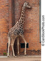 wild animal giraffe