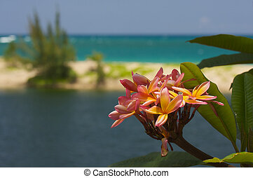 Wild Plumeria Flower - Wild Pink and Yellow Plumeria on a...