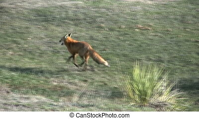 Red Fox - a red fox running across the grassland