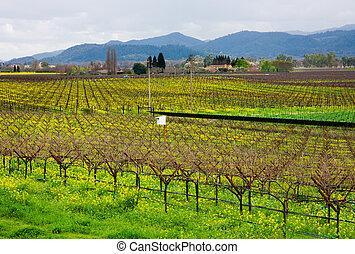 Vineyard in California in Spring
