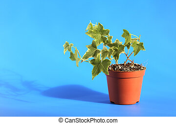 Green Ivy In Pot