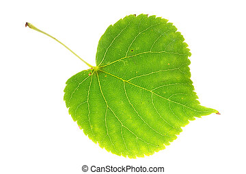linden leaf on isolated - linden leaf isolated on white