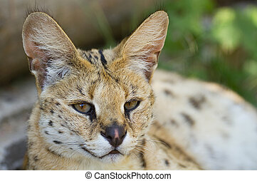 Beautiful Serval  - Beautiful  felis serval wild cat
