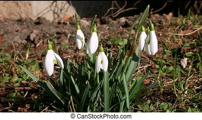 Snowdrops in gentle wind