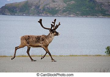 Wild reindeer running, Scandinavia - Wild reindeer running,...